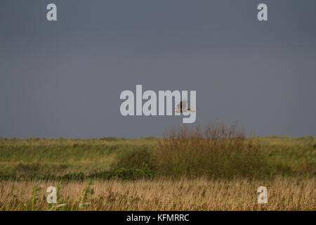 A female Marsh Harrier (Circus aeruginosus) hunting for prey over a reed bed with a dark sky in the background. - Stock Photo