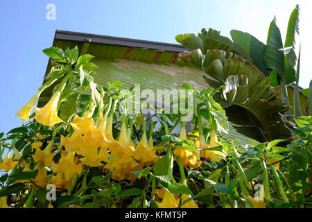 Yellow trumpet flower tree in nature stock photo royalty free image yellow brugmansia or angels trumpet flowering shrub growing outside a house in frogtown los angeles mightylinksfo