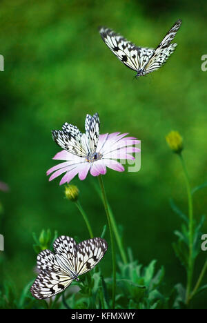 African Daisy and black and white butterflies.