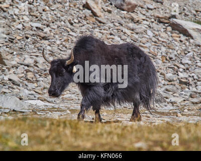 Old Tibetan yak with long black wool and big horns goes along a mountain pasture. - Stock Photo