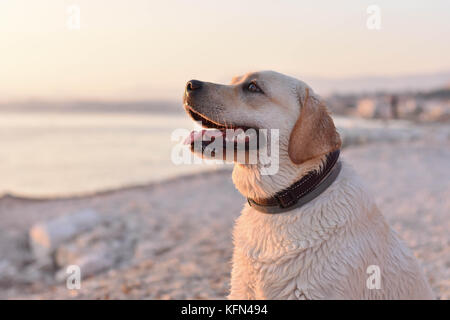 Portrait of white labrador retriever puppy swimming in the sea - Stock Photo