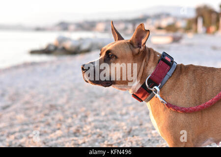 happy healthy pit bull terrier dog on the beach - Stock Photo