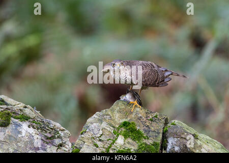 Juvenile Female Sparrowhawk (Accipiter nisus) with freshly caught prey - Stock Photo