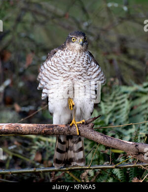 Female Sparrowhawk (Accipiter nisus) hunting for prey - Stock Photo