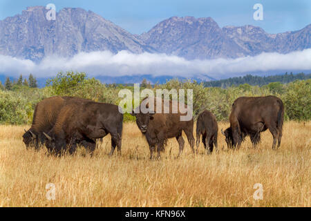 American bisons at Grand Teton national park with mountain range on the background - Stock Photo