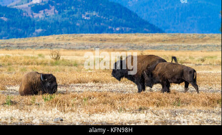 American bisons at Grand Teton national park - Stock Photo