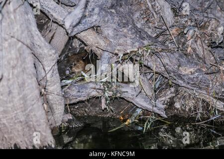 Canadian Beaver Dams Ecosystem in the Cuenca los Ojos in SONORA MEXICO. *Photo:LuisGutierrez / NortePhoto.com he - Stock Photo