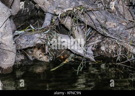 Canadian Beaver Dams Ecosystem in the Cuenca los Ojos in SONORA MEXICO. *Photo:LuisGutierrez / NortePhoto.com he - Stock Photo