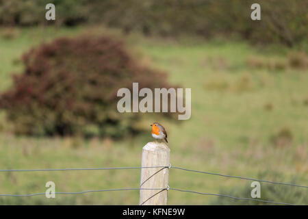 European robin Erithacus rubecula perching on a fence post. Shallow depth of field. - Stock Photo