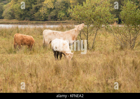 Cows in field, grazing on grass and eating leaves off shrubs in Donegal, Ireland - Stock Photo
