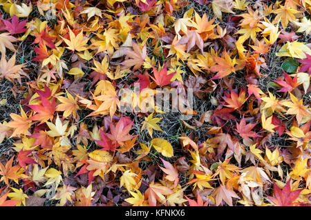 Fallen Japanese maple Acer palmatum autumn leaves lying on the ground - Stock Photo