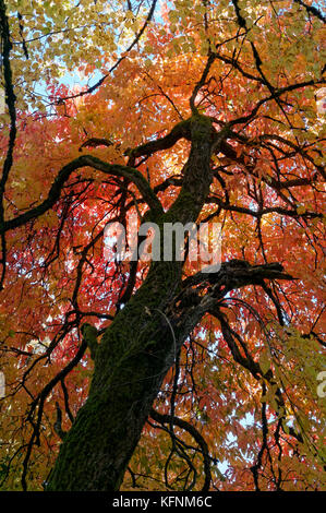 Colorful fall foliage of a big leaf linden tree Tilia platyphyllos, Shaughnessy Park, Vancouver, BC, Canada - Stock Photo