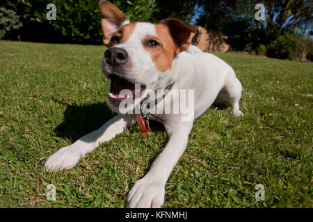 Jack Russell Parsons Terrier barking in garden - Stock Photo