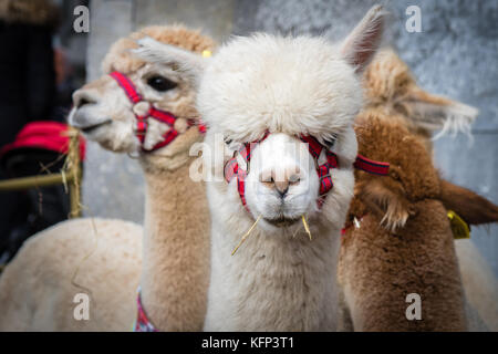 The Alpacas created alot of interest on show at Savour Kilkenny Food Festival, Kilkenny, ireland 27th and 28th October - Stock Photo