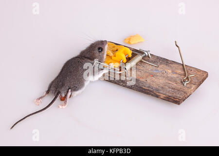 Common house mouse (Mus musculus) killed in a spring-loaded bar snap trap on a white background - Stock Photo