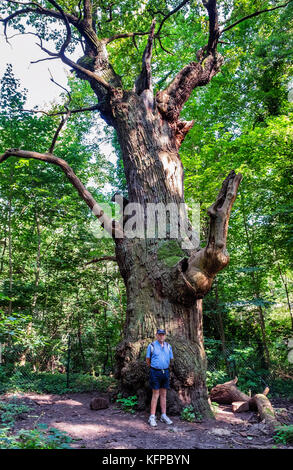 Berlin Alt-Tegel,Tegel Forest.Pedunculate oak,Quercus robur,Dicke Marie or Fat Mary is the oldest tree in Berlin.Named - Stock Photo