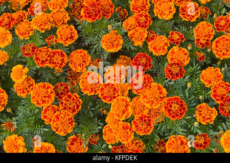Beautiful floral background. Orange marigolds in the flowerbed close-up. Flowers Tagetes. - Stock Photo
