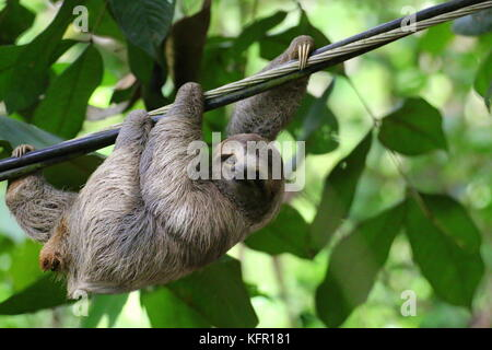 Young Brown-throated Sloth (Bradypus Variegatus) hanging on a cable, while looking at camera with smiling expression. Costa Rica.