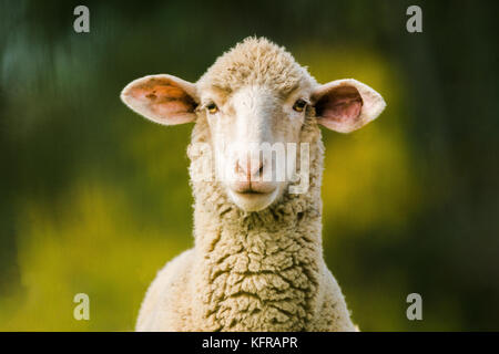 sheep looking at camera on green background. Copy space for text - Stock Photo