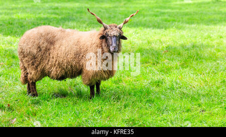 Wallachian sheep, also Hungarian Racka sheep, ram with spiral horns, Ovis aries strepsiceros Hungaricus, in fresh - Stock Photo