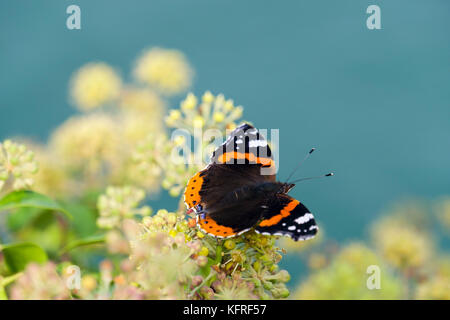 Close -up of a Red Admiral butterfly (Vanessa atalanta) on Ivy flowers (Hedera helix) by the sea in late summer - Stock Photo