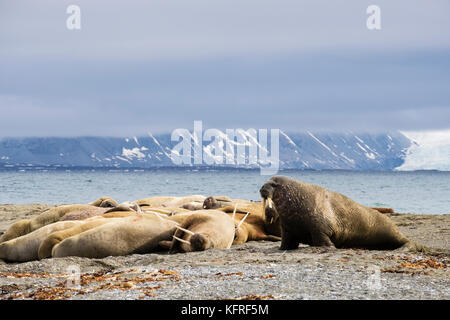 Group of Walruses (Odobenus rosmarus) adults hauled out to rest on dry land on Arctic coast in summer 2017. Spitsbergen, - Stock Photo