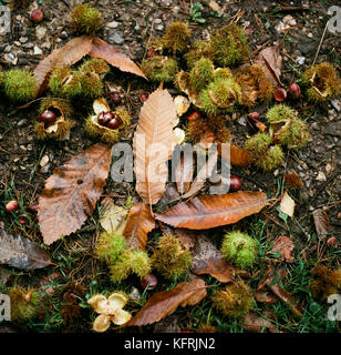Sweet chestnuts lie on the footpath in King's Wood, Ashford, Kent - Stock Photo