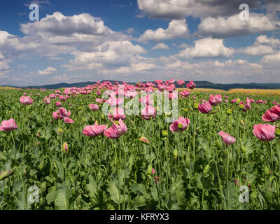 Opium Poppy field in full bloom, Germany - Stock Photo