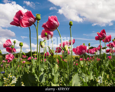 Close up of pink opium poppies in full blossom - Stock Photo