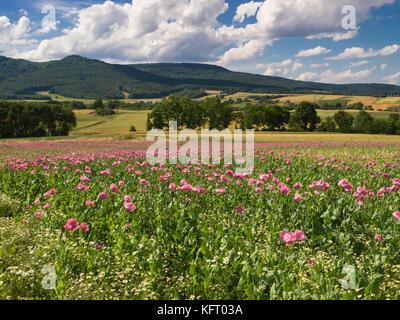 Pink Opium Poppy field in a rural landscape, Germany - Stock Photo