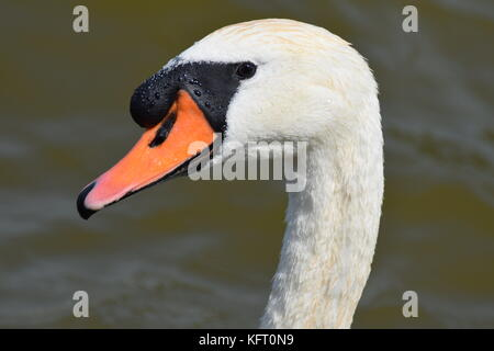 Swan close-up swimming in the netherland - Stock Photo