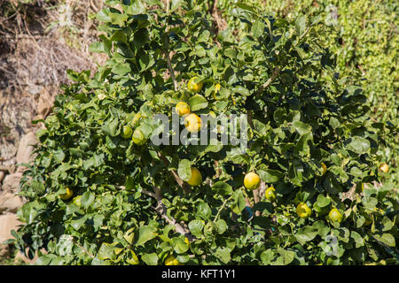 Lemons attached to their plant in January in the Cinque Terre in Liguria, Italy. - Stock Photo