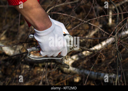Gardener hands pruning cultivar garden branches with a garden secateurs in the autumn garden - Stock Photo