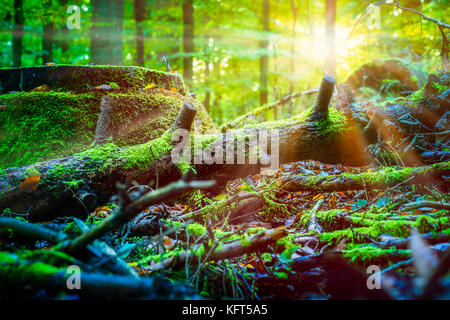 Sun rays shining thought the old fallen tree covered by moss in a forest - Stock Photo
