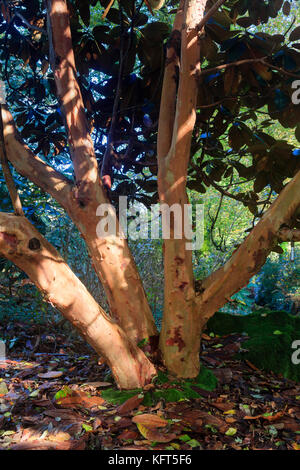 Multiple stems with pale red, peeling bark of the large leaved evergreen tree, Rhododendron falconeri - Stock Photo