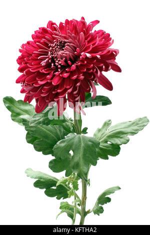 Big magenta chrysanthemum flower isolated on white background - Stock Photo