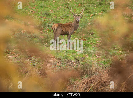 Red deer stag during rutting season in Autumn. Wales, UK. - Stock Photo