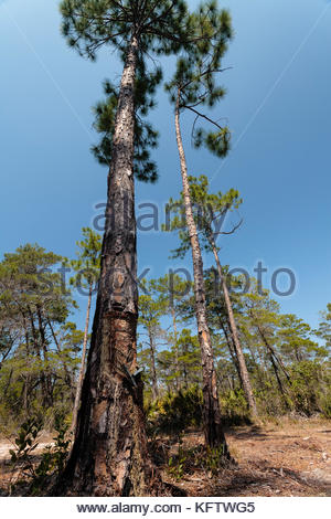 Pine tree turpentine collection in Topsail Hill Preserve