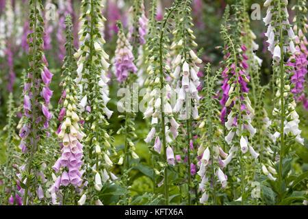 Digitalis purpurea. Foxgloves in the garden. - Stock Photo