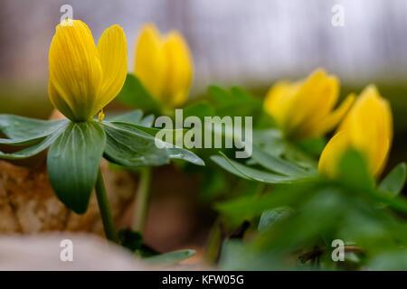 Frühlingsboten Frühblüher Winterlinge - Stock Photo