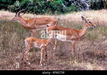 A male, female and baby impala (Aepyceros melampus) pause for an informal family portrait in Nairobi National Park - Stock Photo