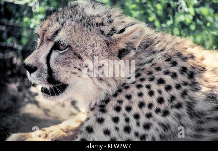 A close-up profile of the face of a young cheetah (Acinonyx jubatus) shows the animal's most characteristic marking, a black tear-like streak running down from each eye to the mouth. The stripes are thought to protect the eyes from the sun's glare. Another distinguishing feature are the solid black spots on a cheetah's coat that help camouflage the world's fastest land animal and Africa's most endangered big cat. Photographed in Zululand, South Africa.