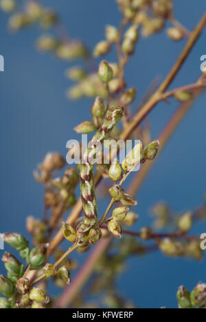 Feldbeifuß-Blütenspanner, Feldbeifuss-Blütenspanner, Blütenspanner, Raupe frisst an Feldbeifuß, Eupithecia innotata, - Stock Photo