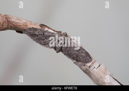 Feldbeifuß-Blütenspanner, Feldbeifuss-Blütenspanner, Blütenspanner, Eupithecia innotata, angle-barred pug, Spanner, - Stock Photo
