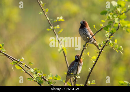 Pair of Spotted Munia Sitting on Branch - Stock Photo