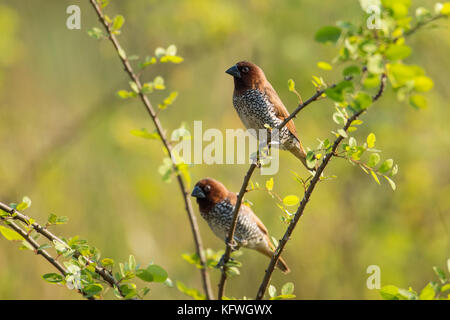Pair of Scaly Breasted Munia Sitting on Branch - Stock Photo
