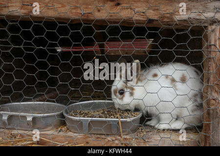Farm rabbit in hutch, cage eating. - Stock Photo