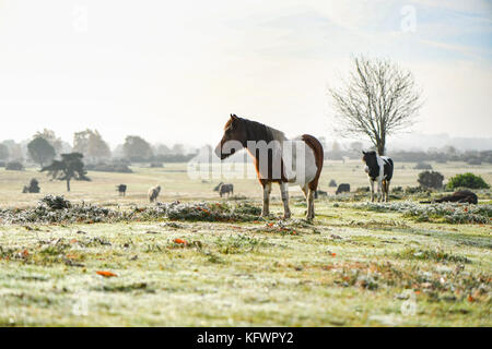 New Forest, Hampshire, UK. 1st Nov, 2017. UK Weather. New Forest ponies sunbathe warming up enjoying the rising - Stock Photo