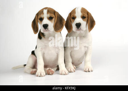 Dog - Beagle Puppies sitting down - Stock Photo