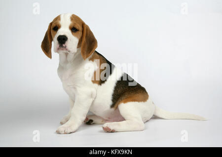 Dog - Beagle Puppy sitting down - Stock Photo